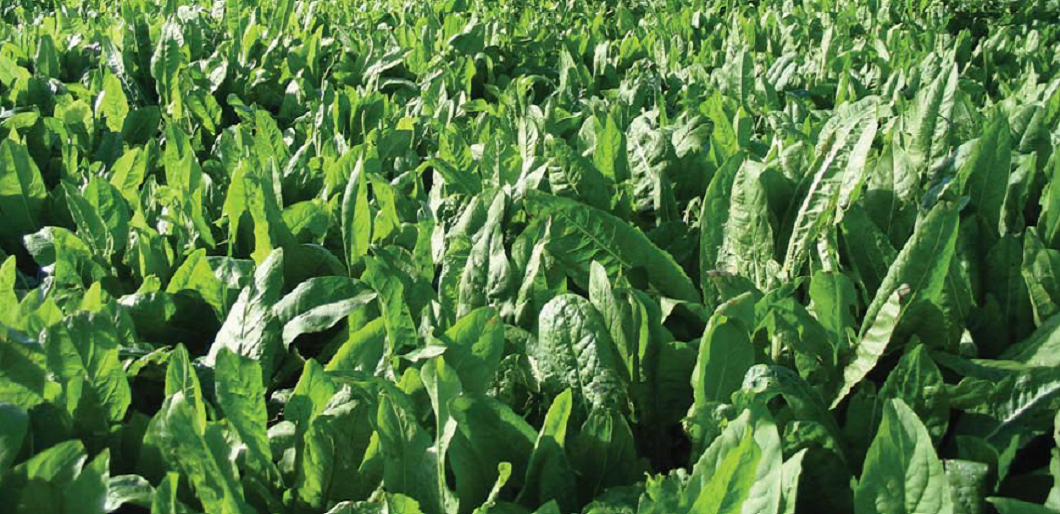 Forage Chicory - High-quality feed over summer