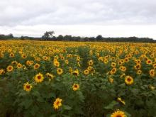 Antrim sunflower crop becomes regional attraction